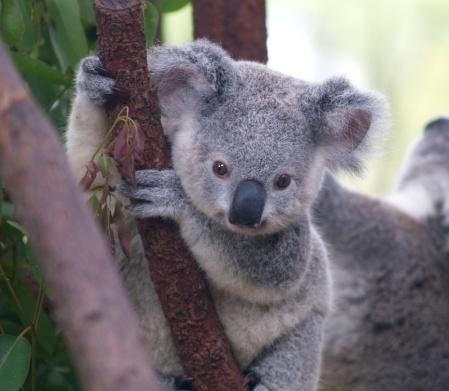 3_2_cutest_koala